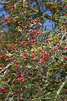 Eingriffliger Weißdorn, Weissdorn, Weiß-Dorn, Weiss-Dorn, Crataegus monogyna, Früchte, English Hawthorn, May, Aubépine monogyne