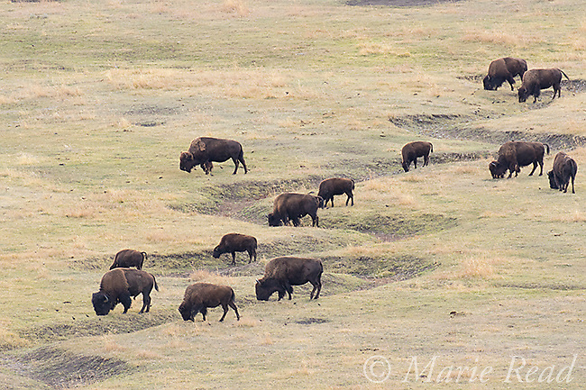 American Bison (AKA Buffalo) (Bison bison), herd grazing,Lamar Valley, Yellowstone National Park, Wyoming, USA