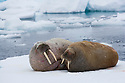 Walrus couple on ice floe (Odobenus rosmarus), June, Svalbard, Norway