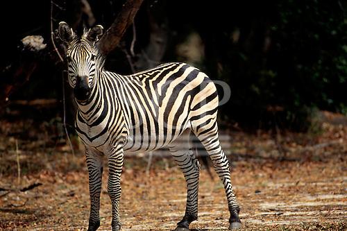 Mosi o Tunya Park, Tanzania. Wildlife safari game reserve; single zebra in savannah.