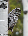 Great gray owl perched in aspen tree. Grand Teton National Park, Wyoming.