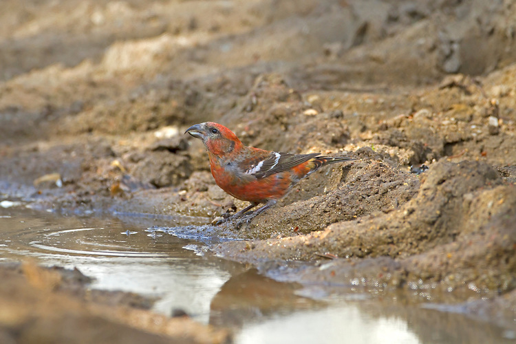 Two-barred Crossbill - Loxia leucoptera - adult male drinking