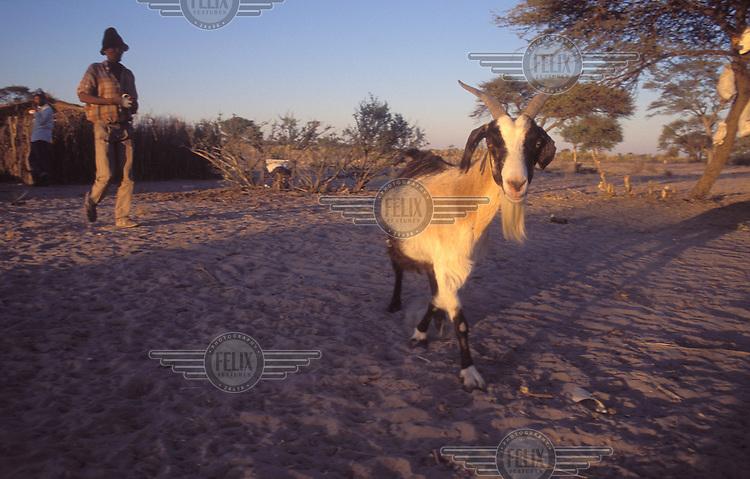 © Paul Weinberg / Panos Pictures..Xade, BOTSWANA..Livestock farming.