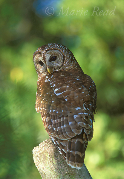 Barred Owl (Strix varia), adult, Wacissa, Florida, USA<br /> Slide # B70-101