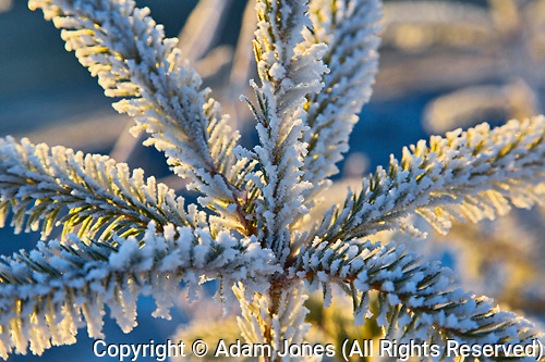 Frost on evergreen tree, Homer, Alaska