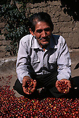 Quillabamba, Peru. Fair Trade coffee grower holding handfuls of fresh coffee beans; Ccochapampa cooperative.