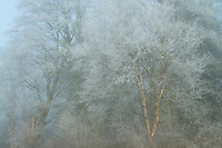 Frosted Birch tree in fog, Samish Fkats, Washington