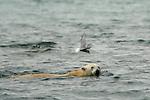 Ours blanc.  Iles Andoyane  dans le Liefdefjorden. Sur les 20000 à 25 000 ours blancs estimes en Arctique, l archipel du Svalbard en abriterait entre 2000 à 3000. Sa chasse est totalement interdite depuis 1976. Meme si son territoire de predilection reste la banquise, on a de fortes chances de le croiser sur la terre ferme, en particulier sur les côtes orientales et septentrionales du Svalbard.