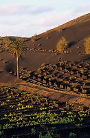 Europe/Espagne/Canaries/Lanzarote/Parc National du Timanfaya : Paysage volcanique de la Geria, vignes et palmiers
