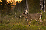 White-tailed doe walking through a meadow as the sun sets.