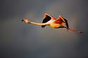 Greater Flamingo (Phoenicopterus roseus) in flight,  Camargue, Rhone Delta, France