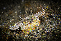 Bobbit worm (Eunice aphroditois) in Lembeh Strait / Indonesia