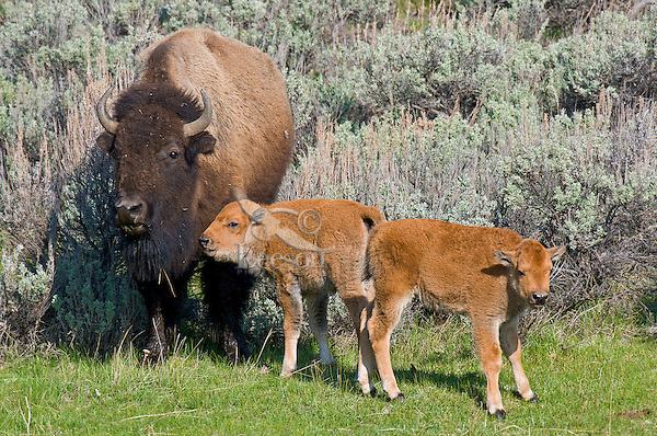 American Bison (Bison bison) cow and two calves.  Yellowstone National Park, WY.  June.