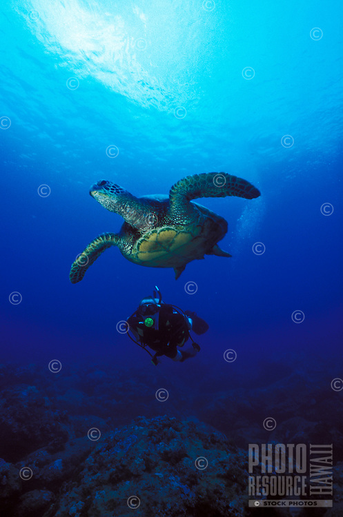 A scuba diver (man)swims with a Green Sea Turtle (Honu) in Hanauma Bay, Oahu.