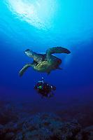 A scuba diver (man)swims with a Green Sea Turtle (Honu) in Hanauma Bay, Oahu.
