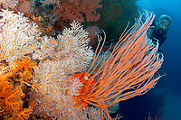 A diver swims along the coral covered wall, Albatross passage, Kavieng, Bismarck sea, Pacific ocean, Papua New Guinea, Asia