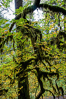 Tree moss intertwines the trees as the leaves change in the Autumn at Silver Falls State Park in Oregon, USA.