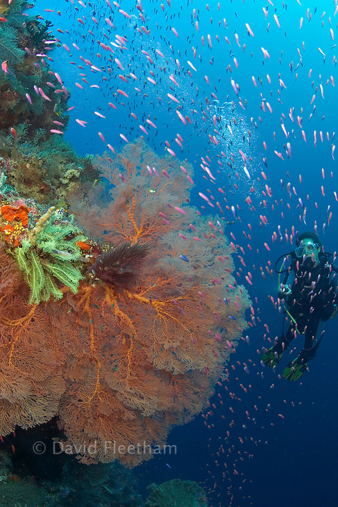 Gorgonian coral dominates this reef scene with schooling anthias and a diver (MR). Indonesia.