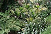Domaine du Rayol : le jardin tasmanien et néozélandais, ici le vallon aux fougères arborescentes (Dicksonia et Cyathea)