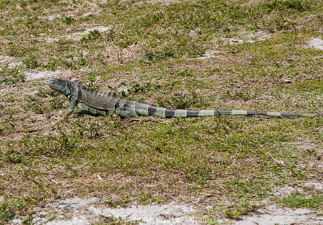 Iguanas run rampant in Bill Baggs Cape Florida State Park.