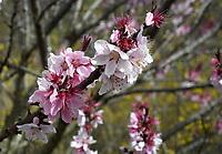A bonfire ornamental peach blooms  Wednesday March 18, 2020 at the Botanical Garden of the Ozarks in Fayetteville.(NWA Democrat-Gazette/J.T. Wampler)