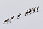 WEATHER INPUT - Scotland<br /> <br /> Pictured: Reindeer enjoy the last of the melting snow on the mountain tops of the Cairngorms which lie within the Cairngorms National Park in the Scottish Highlands.<br /> <br /> After a particularly snowy winter and cool spring, plenty of snow is still lying in favourable spots in the Scottish mountains. The reindeer herd which have been around in these parts since 1952 graze freely throughout 10,000 acres of the mountains.<br /> <br /> Please byline: Alistair Todd/Solent News<br /> <br /> © Alistair Todd/Solent News & Photo Agency<br /> UK +44 (0) 2380 458800