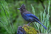 Rainy Day for the Steller's Jay, (Cyanocitta stelleri).Goldbar Washington
