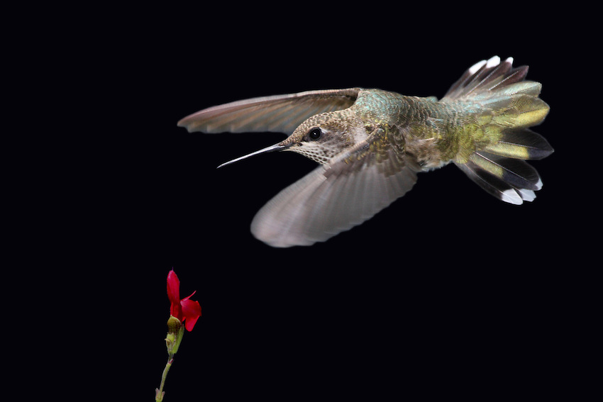 Black-chinned Hummingbird (Archilochus alexandri) in simulated night flight. Actually, it's my version of a cross between a bat & a bird ;-)