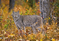 Lynx. Autumn. Rocky Mountains. North America. Felis lynx canadensis.
