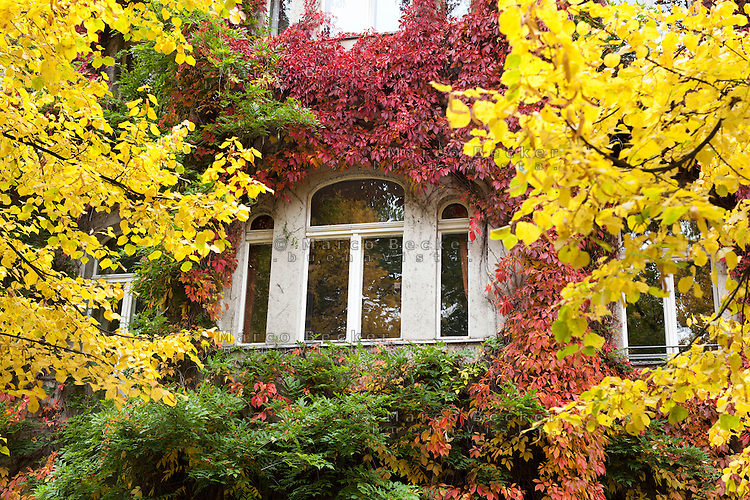 Berlino, quartiere Kreuzberg, Bergmannstraße. La finestra di una casa ricoperta di piante dai colori autunnali --- Berlin, Kreuzberg district, Bergmannstrasse. The window of a house covered with autumn colored plants
