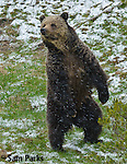 Grizzly bear standing on hind legs during spring snowstorm. Yellowstone National Park, Wyoming.