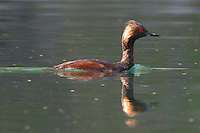 The Black-necked Grebe (Podiceps nigricollis) known in North America as the Eared Grebe, is a member of the grebe family of water birds. When the bird is in its breeding plumage, it has an all-black neck and a spray of golden plumes on each side of its head.<br />