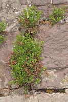 Mauer-Streifenfarn, Mauerstreifenfarn, Streifenfarn, Mauer-Raute, Mauerraute in den Ritzen eines alten Gemäuers, Mauer, Asplenium ruta-muraria
