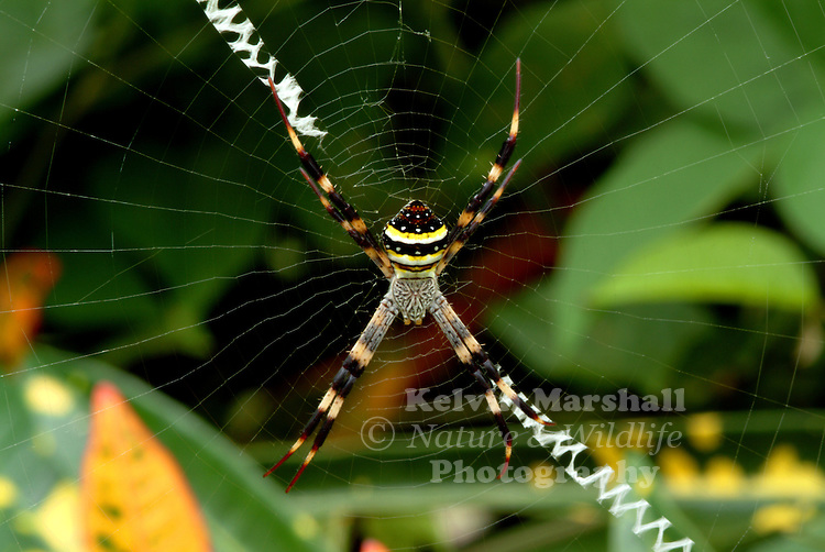 In Australia, Argiope keyserlingi and A. aetherea are known as St. Andrew's Cross spiders, for their habit of resting in the web with legs outstretched in the shape of an X, the cross of St. Andrew.