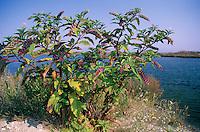 Amerikanische Kermesbeere, Kermes-Beere, Blüten und Früchte, Phytolacca americana, American Pokeweed