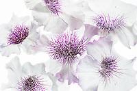 Close up pf petunia flowers.