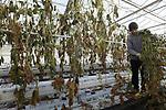 Foto: VidiPhoto<br /> <br /> OOSTERHOUT – Personeel van kwekerij Noord-Oost in Oosterhout (Gld) verwijdert maandag met behulp van tuinbouwloonbedrijf Knuiman de resten van oude komkommerplanten uit de kassen. Deze zogenoemde teeltwisseling is een enorme klus die (meestal) aan het eind van het productiejaar steeds terugkeert bij glastuinders. Het verwijderen van het oude materiaal en reinigen van de kassen duurt ongeveer twee maanden. Eind december en begin januari worden dan nieuwe planten geplaatst. Bij Noord-Oost zijn dat er 40.000. Begin februari worden de eerste komkommers geoogst. Komkommertelers kijken niet zonder zorgen naar komend seizoen omdat er meer productie wordt verwacht. Door de aangetroffen tomatenziekte stappen enkele grote kwekers over naar de teelt van komkommers. Meer productie betekent vaak lagere prijzen.