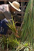 Xingu Indigenous Park, Mato Grosso State, Brazil. Aldeia Lahatua (Kuikuro). Oca house under construction; sapé thatching.