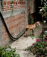 A pet goat at the home of weaver Federico Chavez Sosa in Teotitlan del Valle near Oaxaca, Mexico...Photo by Matt Nager