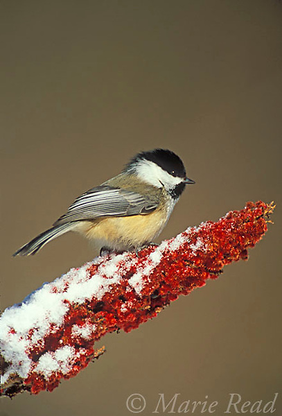 Black-capped Chickadee (Poecile atricapilla) perched on staghorn sumac in winter, New York, USA<br /> Slide # B123-488