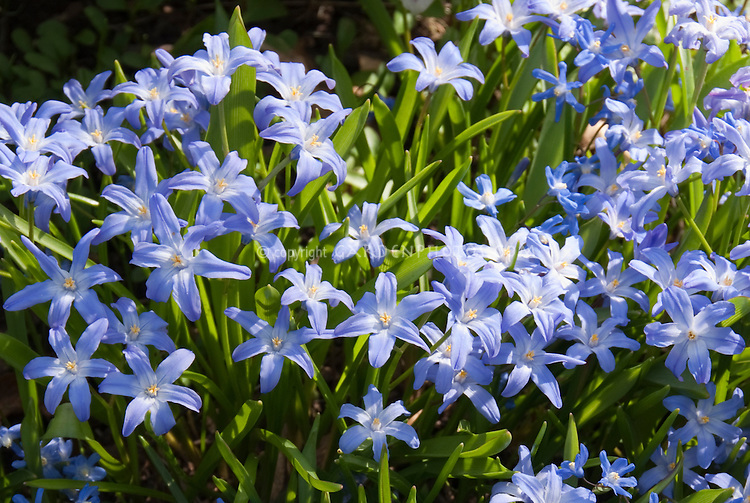 Chionodoxa lucilae spring bulb plant flower stock photography blue flowers of chionodoxa lucilae in spring bloom mightylinksfo