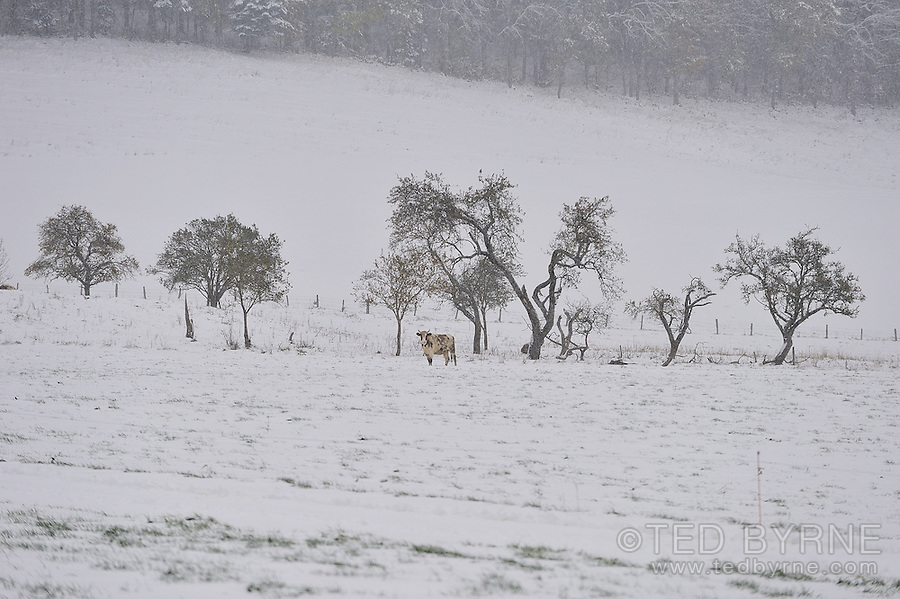 Lone cow in field ponders the arrival of an October snowfall