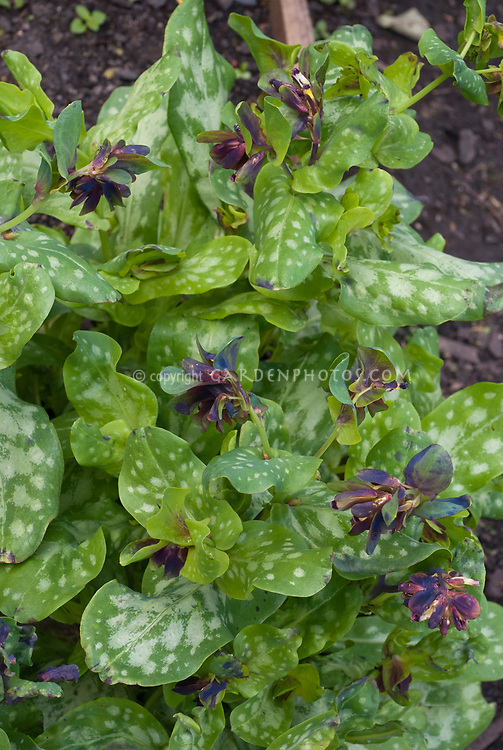 Cerinthe retorta in bloom, Greek Cerinthe, which has variegated foliage leaves