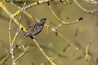Star, mit Futter, fütternd, Sturnus vulgaris, European starling