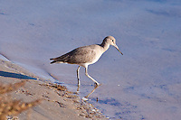 Willet, Pacific side Baja Sur, Mexico