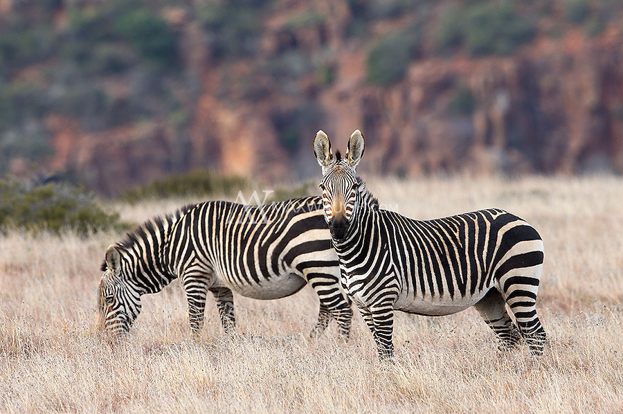 Mountain zebras only exist in small isolated pockets in southern Africa.  They have larger ears and brownish noses, compared to their more common cousins.