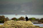 Little Pied Cormorant (Phalacrocorax melanoleucos) on coastal rock, Kaikoura, South Island, New Zealand