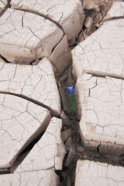 A single lupine struggles to grow in dried mud in Big Bend National Park, Texas. The mud was deposited during floods on the Rio Grande river.