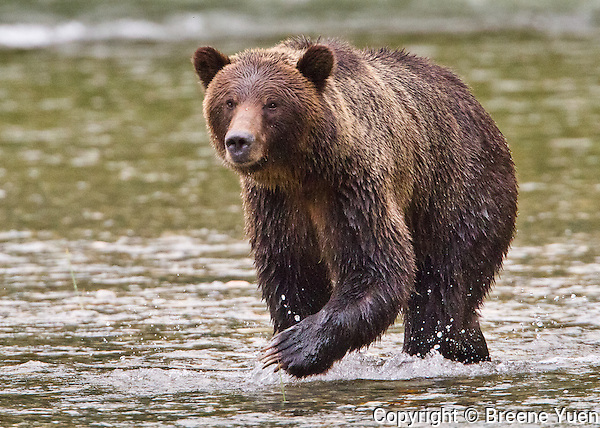 Grizzly Bear Walking along Butte Inlet