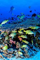 reef fish and table coral, French Frigate Shoals, Papahanaumokuakea Marine National Monument, Northwestern Hawaiian Islands, Hawaii, USA, Pacific Ocean